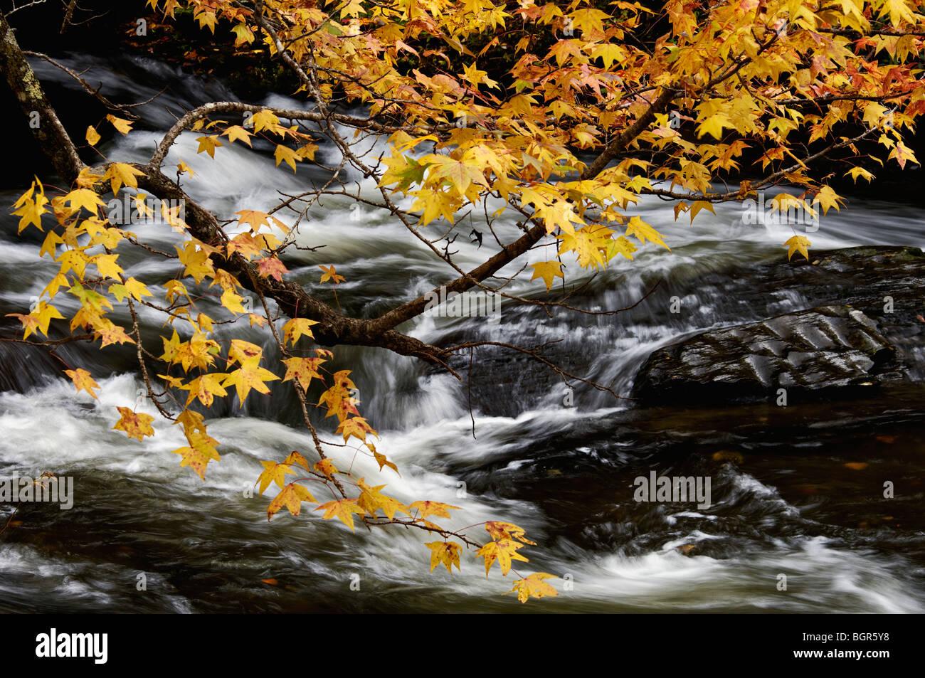 Sweetgum Baum im Herbst Blätter mit Stromschnellen am Fluss Tellico hinter in den Cherokee National Forest Stockbild