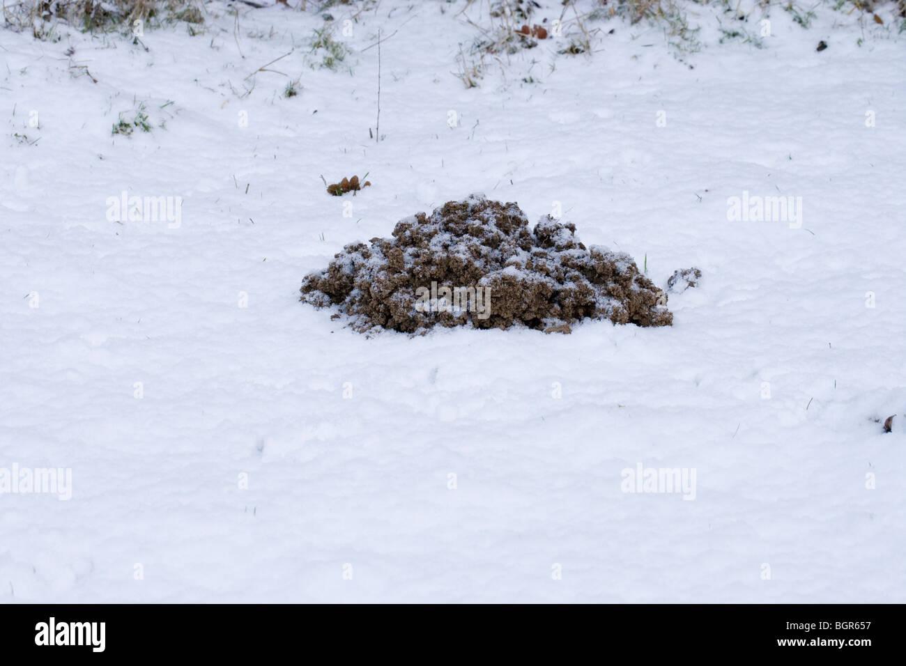 Maulwurf Talpa Europaea Noch Aktiv Im Harten Wetter Jüngsten