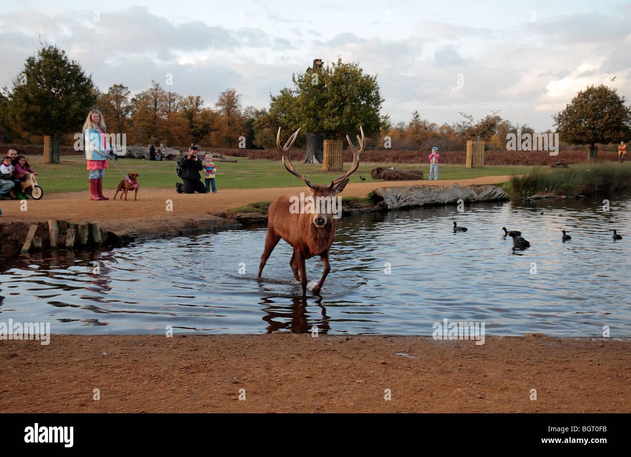 Eine große männliche Hirsch Rothirsch geht durch einen kleinen Teich mit Kindern beobachten, Bushy Park, Richmond, Stockfoto