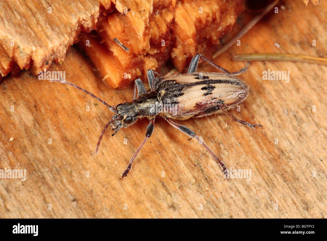 Zwei-banded Longhorn Beetle (Rhagium Bifasciatum) auf abgestorbenem Holz. Powys, Wales. Stockbild