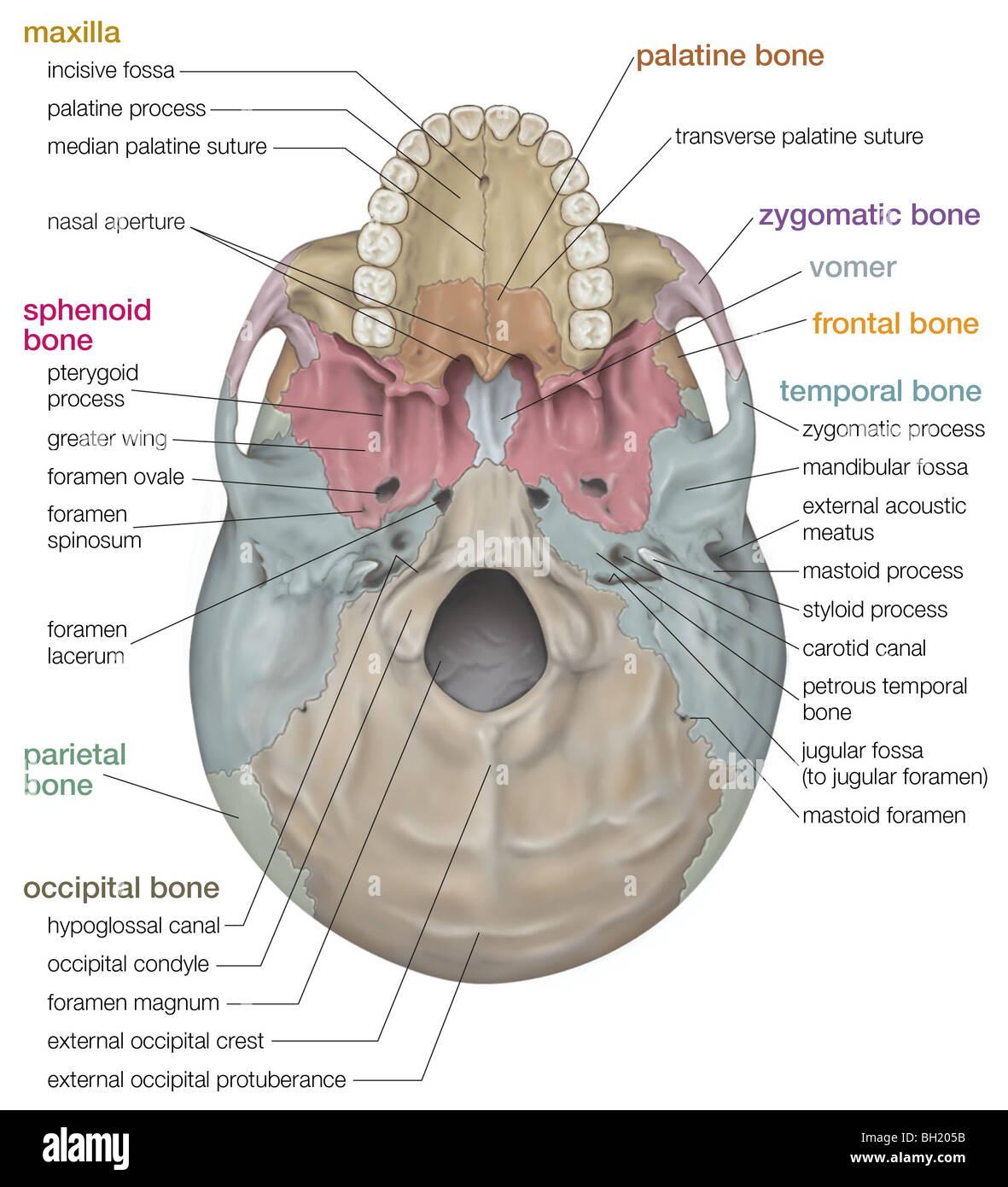 Foramen ovale (Schädel) || Med-koM