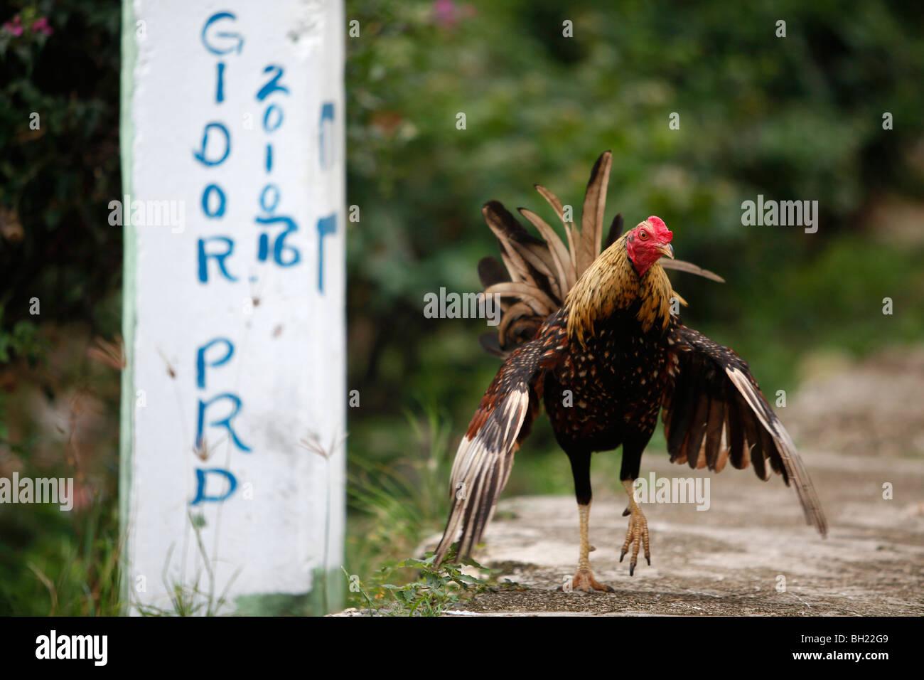 Der große dominanische Hahn