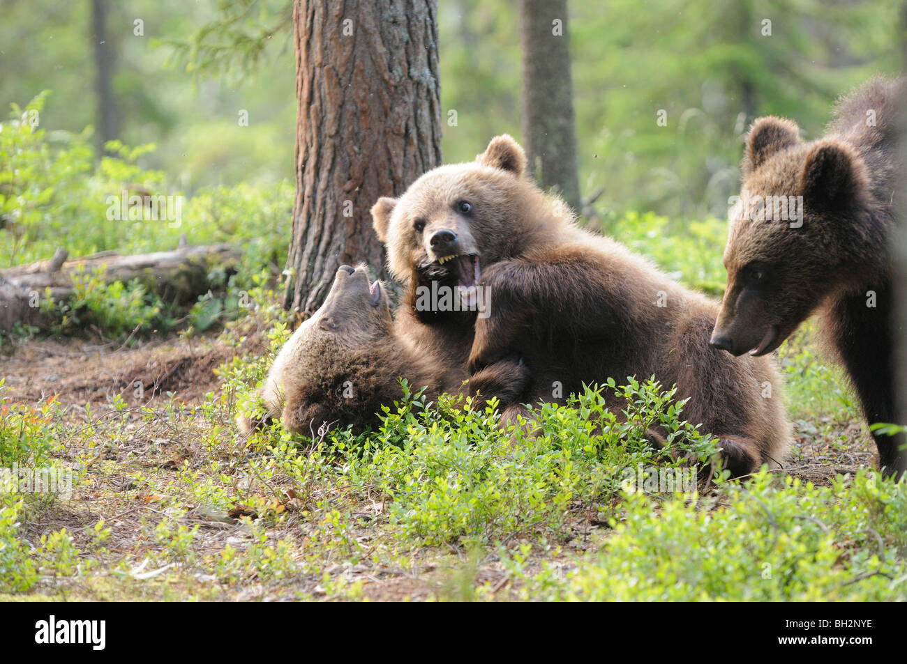 Europäischer Braunbär Ursos Arctos Cubs spielen fotografiert in Finnland Stockfoto