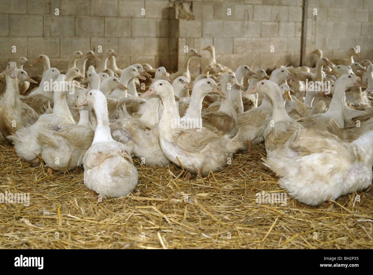 Stall aufgezogen Enten für Ei-Produktion Stockbild