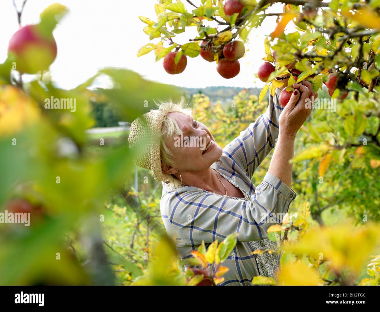 Reife Frau Äpfel pflücken Stockbild