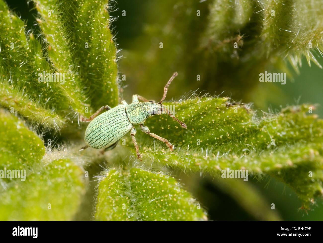 Rüsselkäfer (Phyllobius Pomaceus). Junger Erwachsener mit grünen Schuppen intakt. Stockfoto