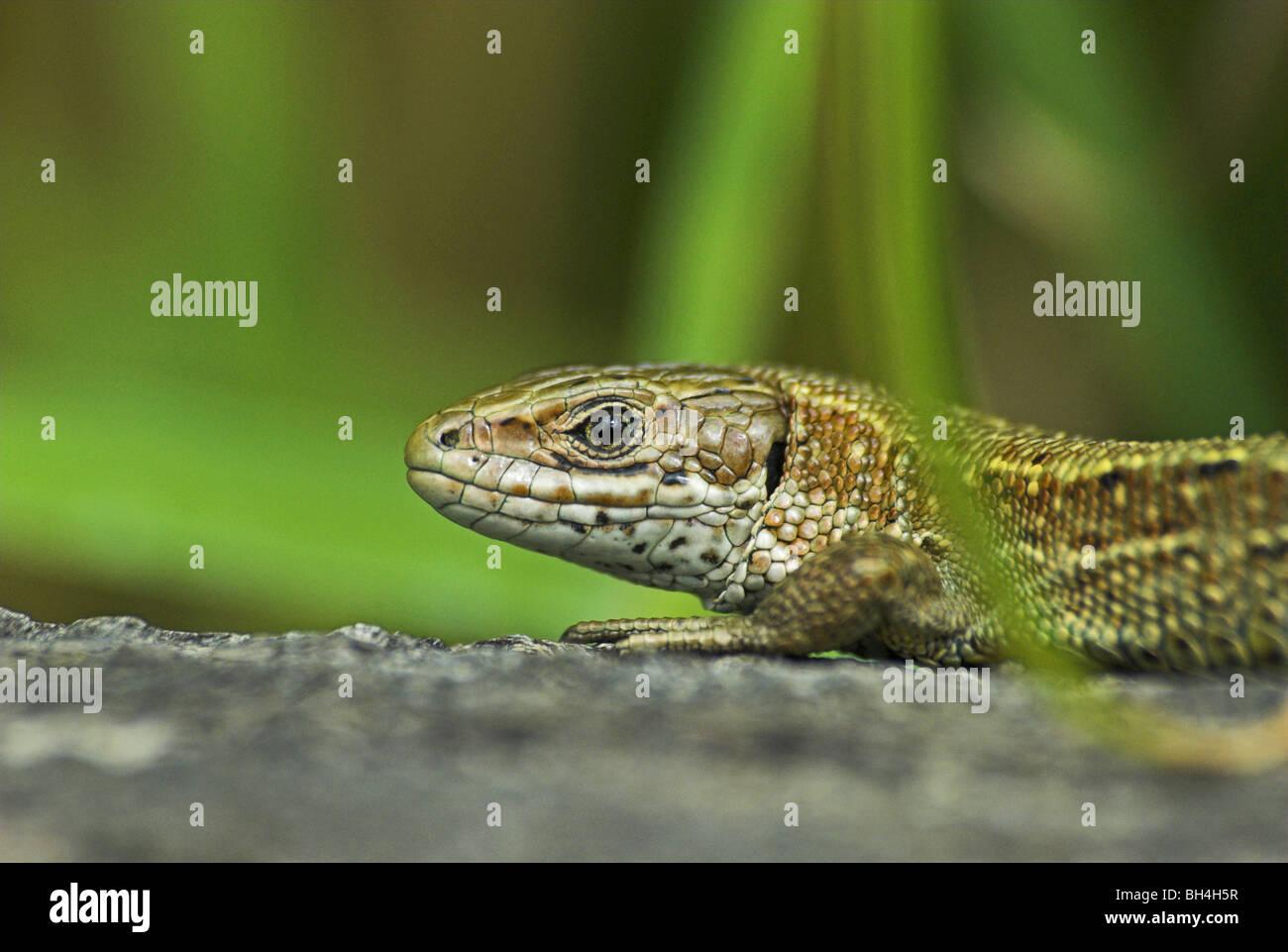 Gemeinen Eidechse (Lacerta Vivipara) Aalen. Stockfoto