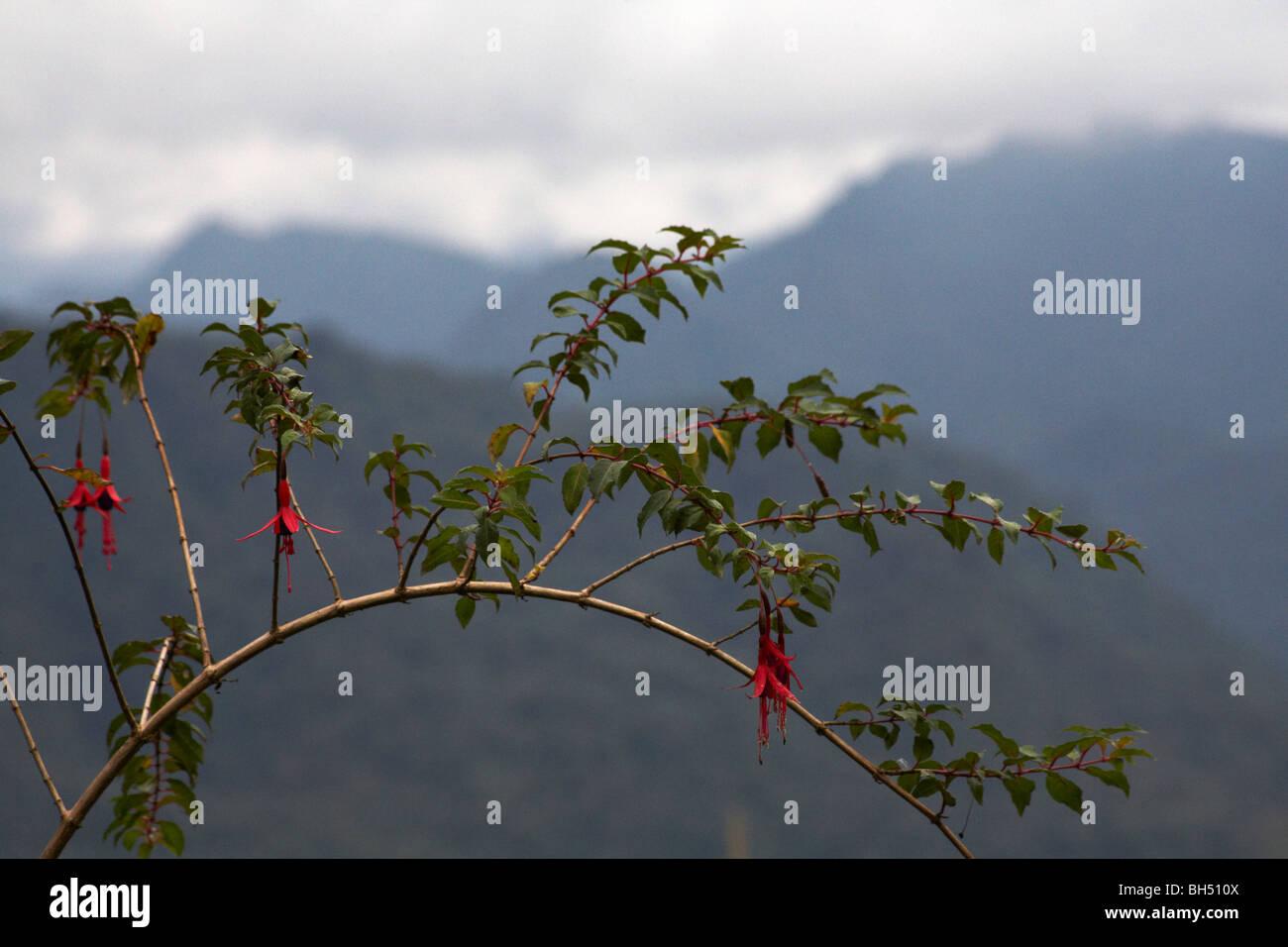 Fuchsien wachsen natürlich mit den Bergen als Kulisse. Stockbild