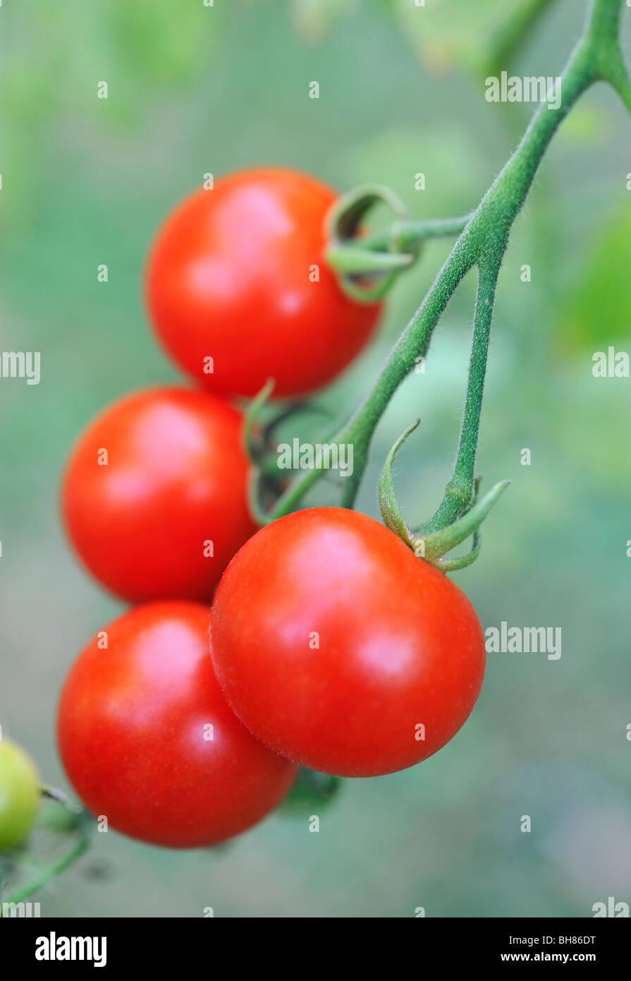 Tomaten wachsen auf Rebe Stockbild