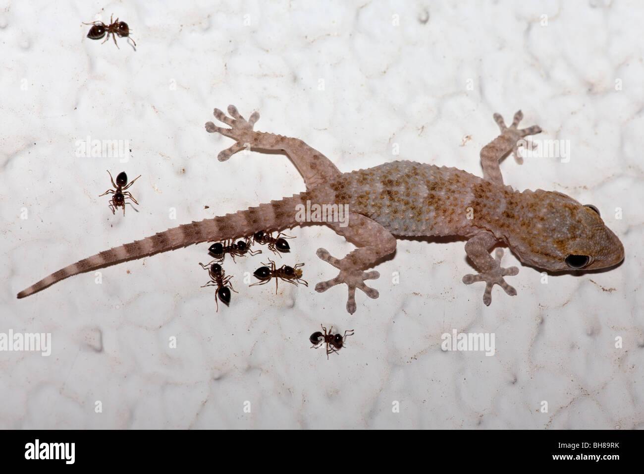 Crocodile gecko stockfotos crocodile gecko bilder alamy - Ameisen in der wand ...