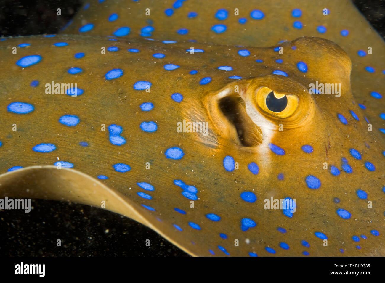 Blue Ray, entdeckt Taeniura Lymma, Lembeh Strait, Sulawesi, Indonesien Stockbild