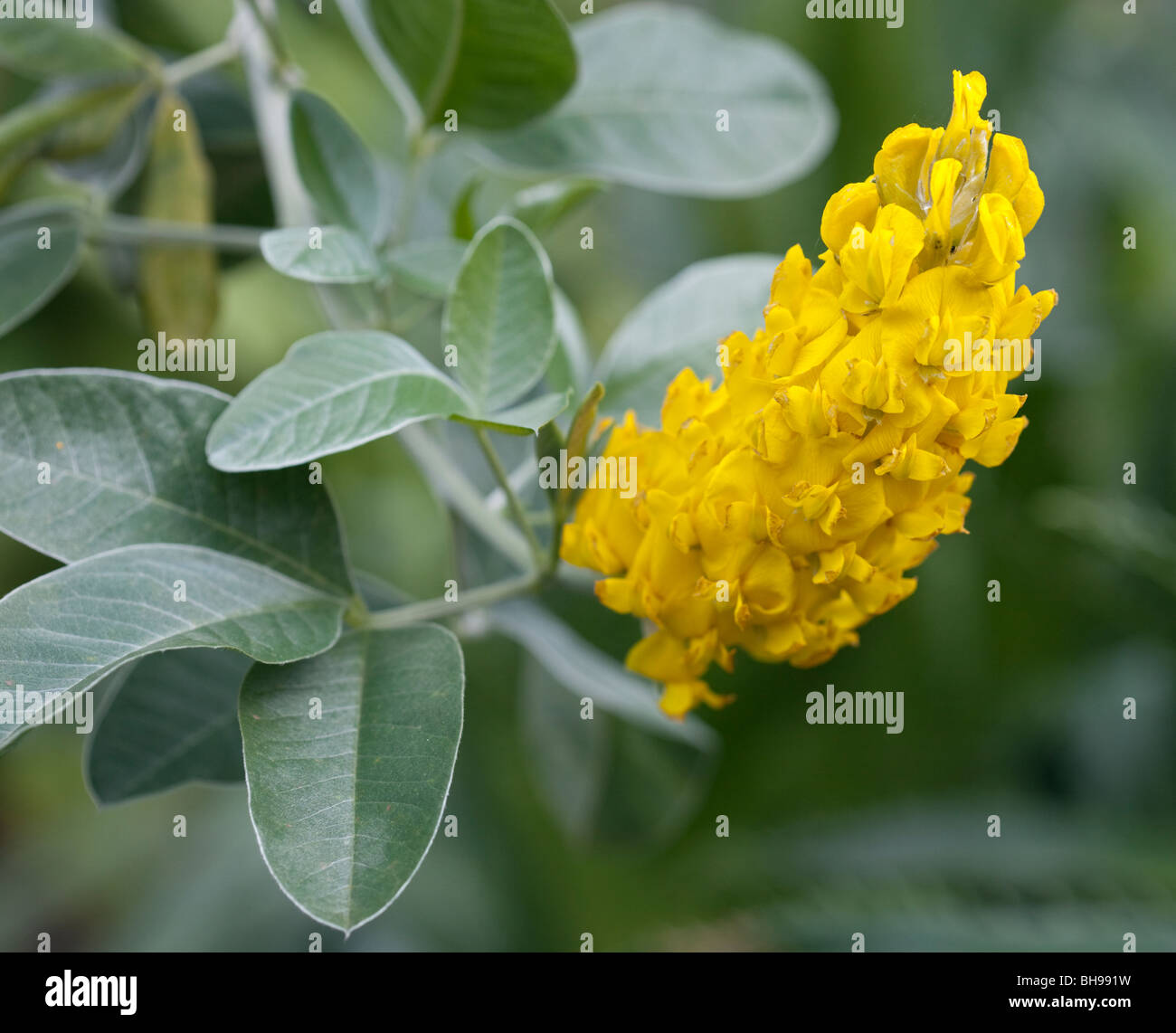 Cystius Battandieri Yellow Tail Stockbild