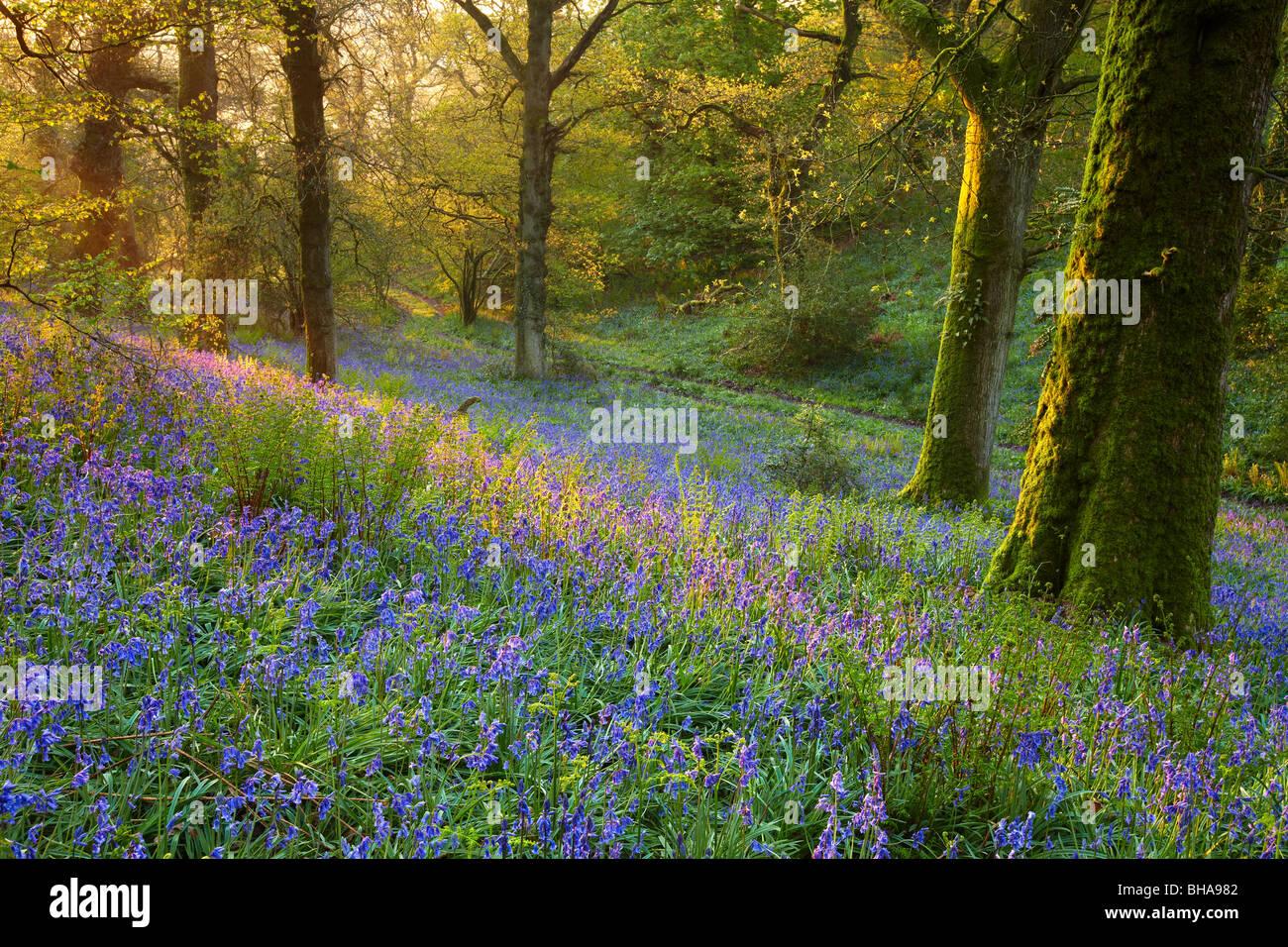 Morgendämmerung im Bluebell Wald bei Batcombe, Dorset, England, UK Stockbild