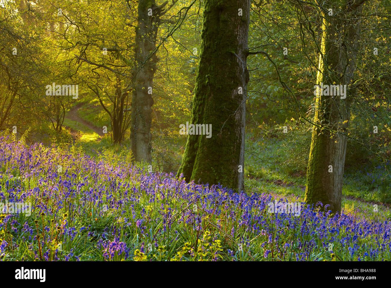erste Licht im Bluebell Wald bei Batcombe, Dorset, England, UK Stockbild