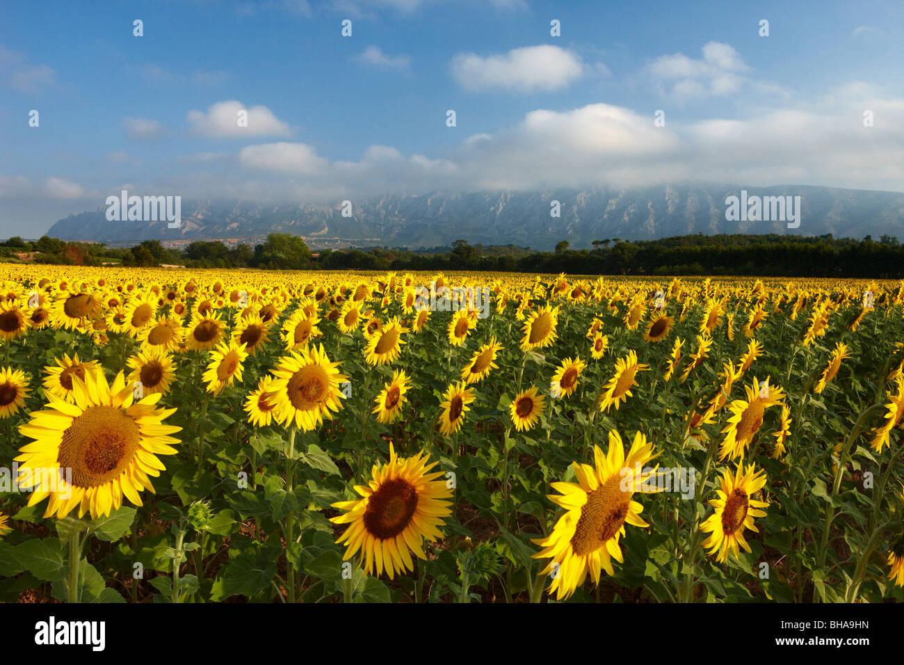 ein Feld von Sonnenblumen nr Puyloubier mit Montagne Ste Victoire hinaus Bouches du Rhone, Provence, Frankreich Stockbild