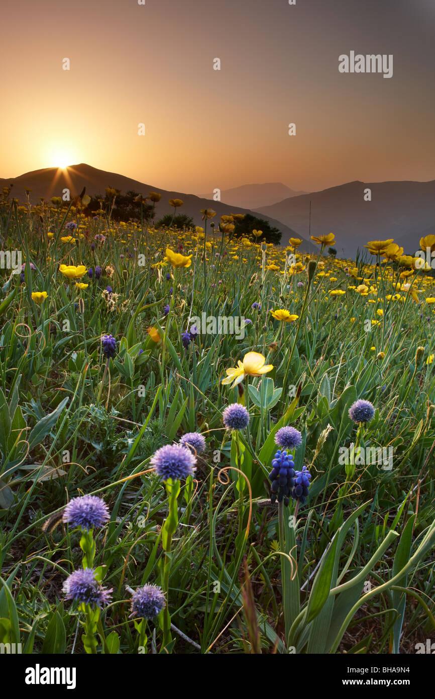Wildblumen auf der Forca Canapine bei Sonnenaufgang im Nationalpark der Monti Sibillini, Umbrien, Italien Stockbild