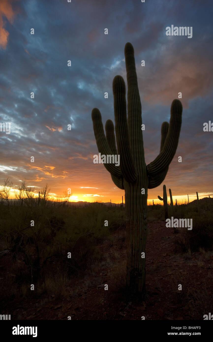 Wüste Sonnenuntergang mit einem Saguaro-Kaktus Silhouette gegen den Himmel. Dieser ist in Arizona, westlich von Stockfoto