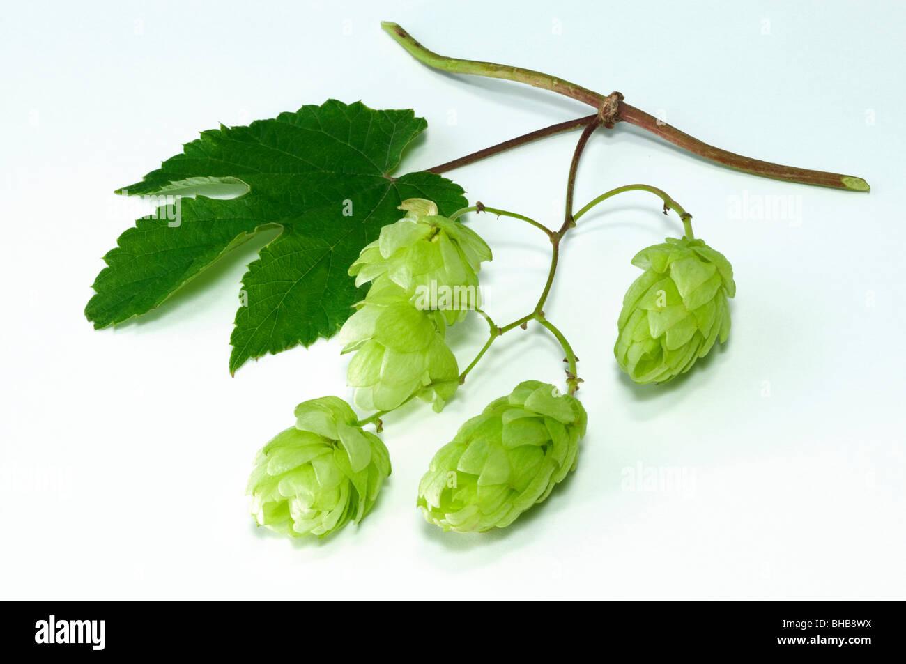 Gemeinsamen Hopfen (Humulus Lupulus), Ranke mit Blätter und Früchte, Studio Bild. Stockbild
