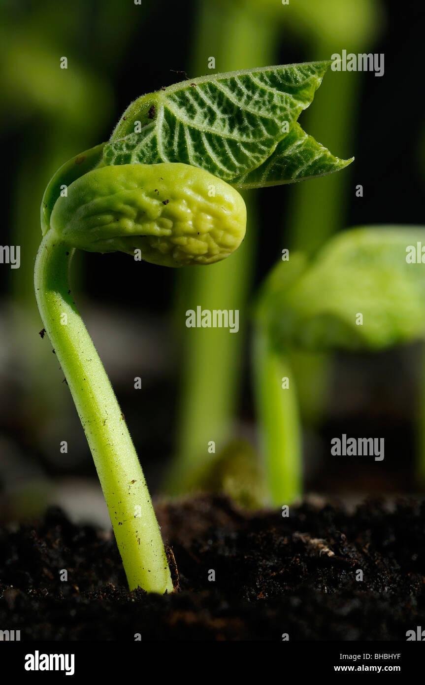Bush Sojasprossen in Sonne aufstrebenden mit neuen Wachstum aus der Erde im Frühling Garten Stockbild