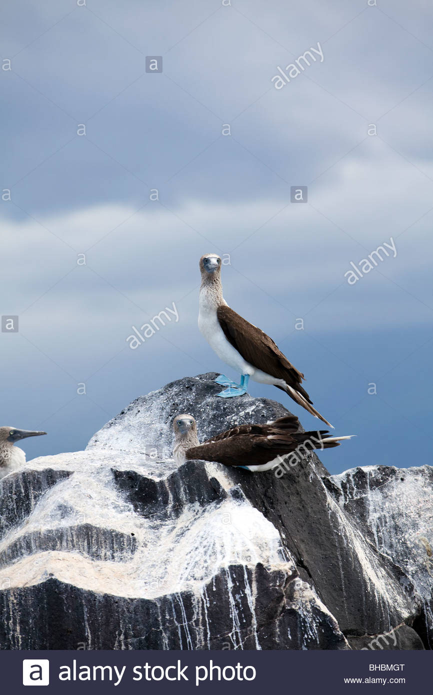 tierische Archipel Archipelo Vogel Vögel blau footed Sprengfallen Tölpel Sprengfallen Ecuador Galapagos Stockbild