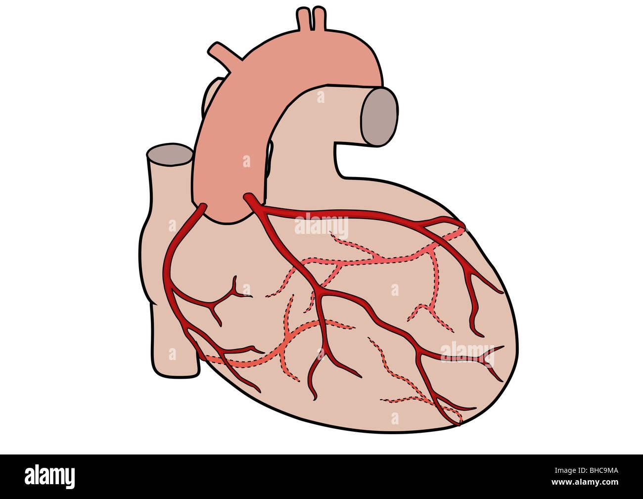 Diagramm des menschlichen Herzens zeigen die Herzkranzgefäße ...