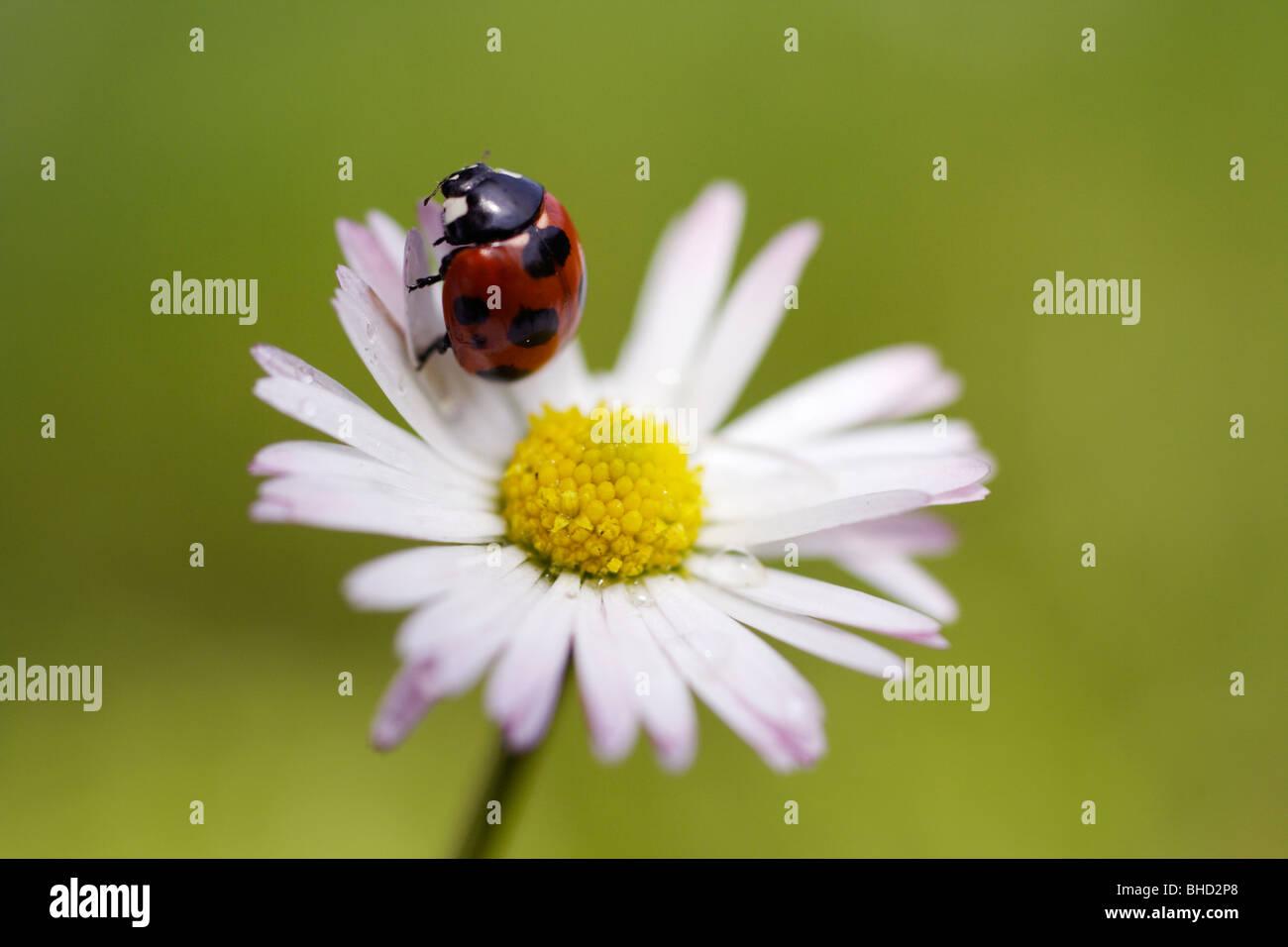 Marienkafer Auf Daisy Flower Und Wassertropfen Abstrakten Hintergrund Stockfotografie Alamy