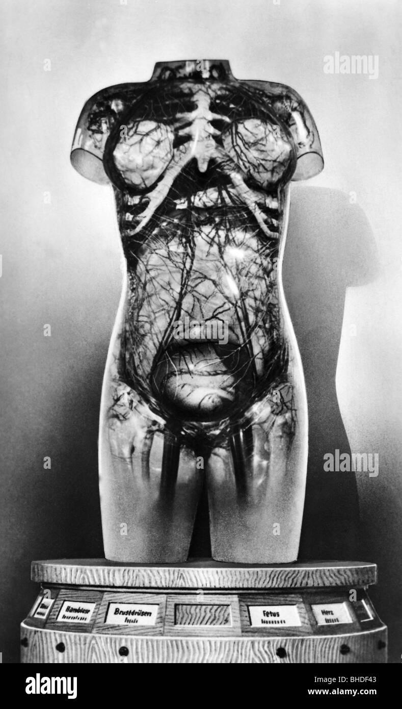 Medizin, Anatomie, menschliche Körper aus Glas, Deutsches Hygiene ...