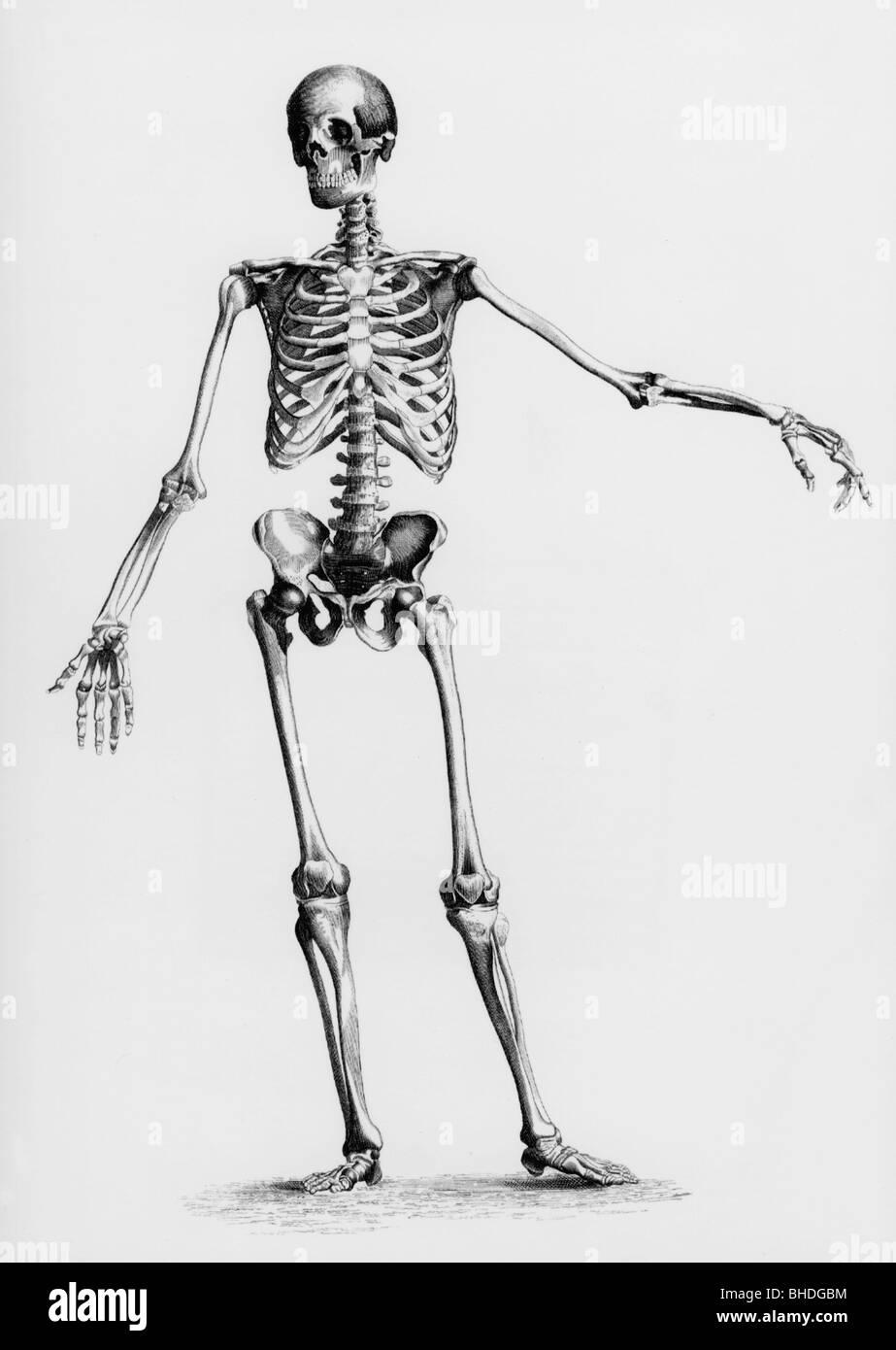 Medizin, Anatomie, menschliches Skelett, Stahlstich, 19. Jahrhundert ...