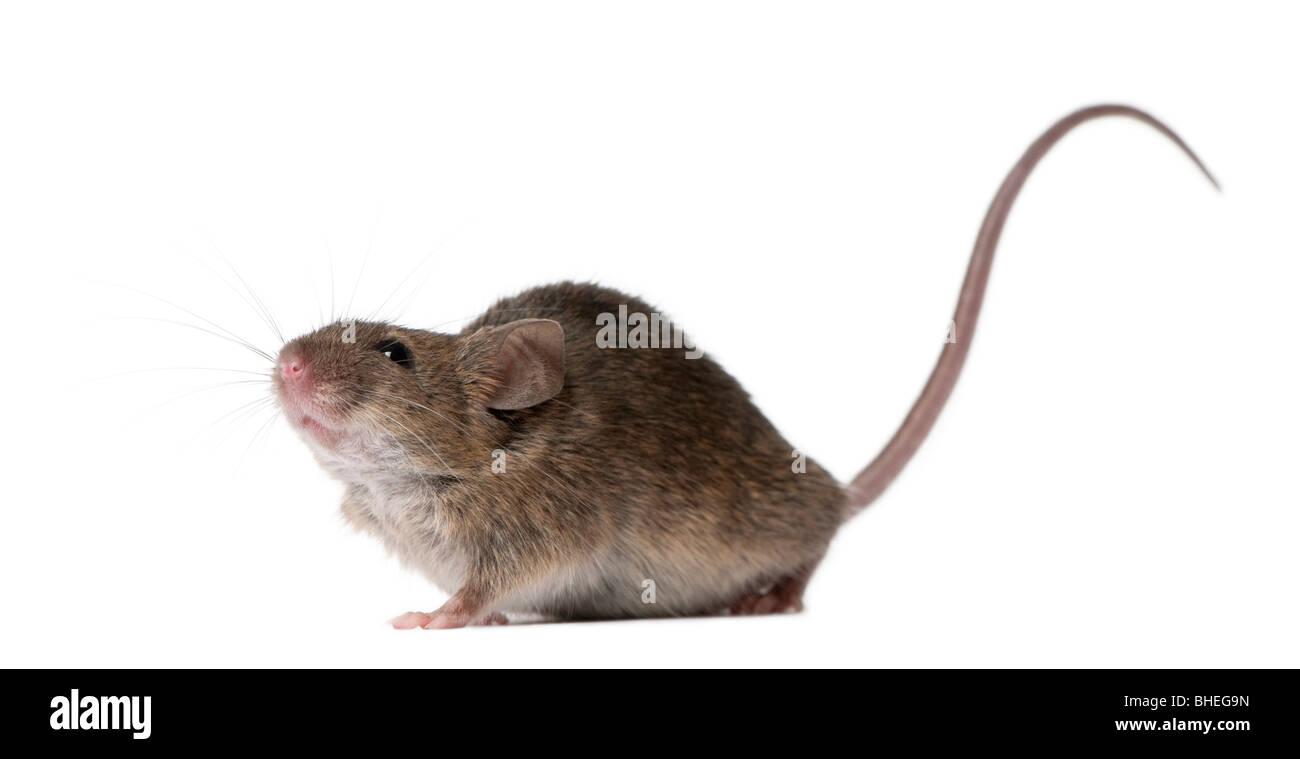 Wilde Maus, vor weißem Hintergrund, Studio gedreht Stockbild