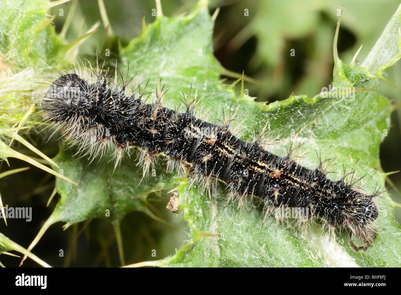 Große Larven eines Schmetterlings Distelfalter (Vanessa Cardui) auf einem Blatt der schleichenden Distel Fütterung. Stockfoto