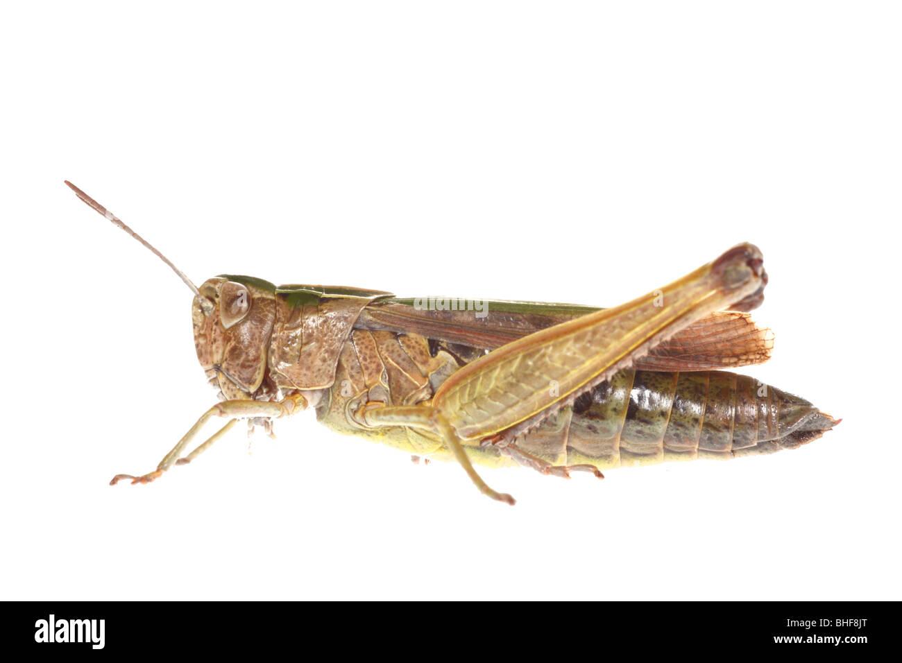 Weibliche gemeinsamen grünen Grashüpfer (Omocestus Viridulus). Leben Sie Insekt vor einem weißen Stockbild
