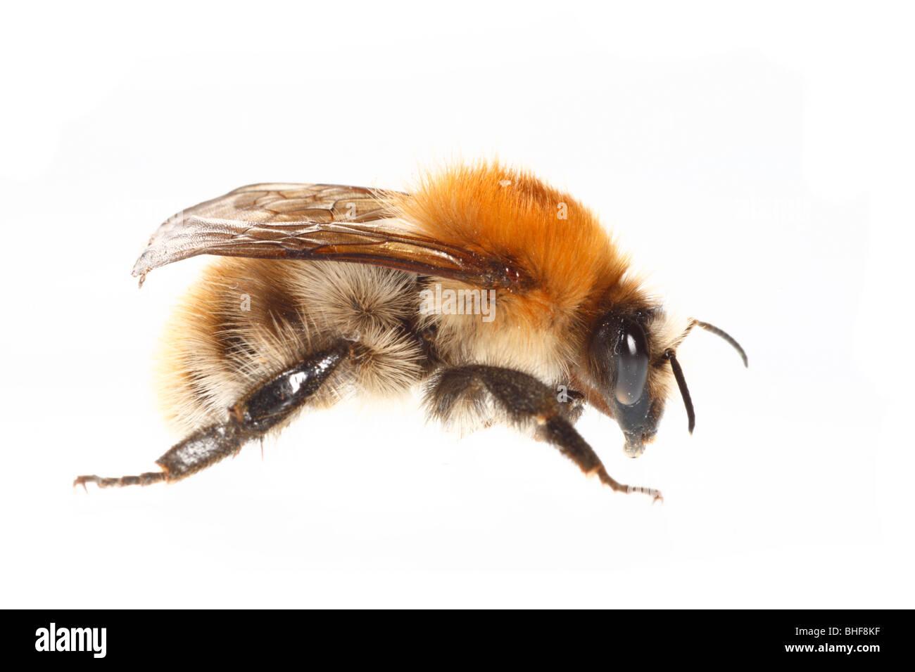 Gemeinsamen Carder Hummel (Bombus Pascuorum) Königin. Leben Sie Insekt vor einem weißen Hintergrund auf Stockbild