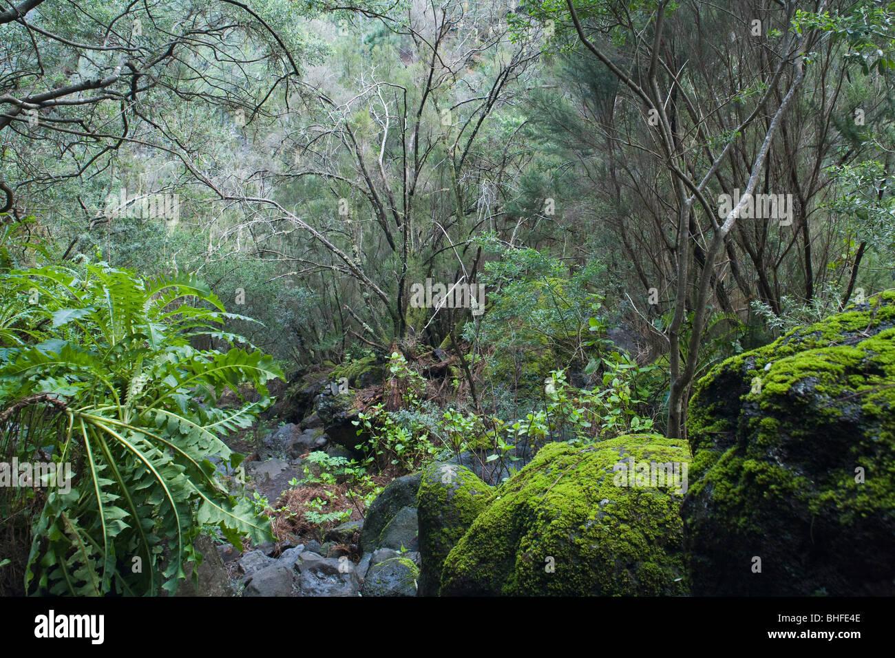 Feuchten subtropischen Laurel Wald, Laurisilva, Moos, Fuentes Marcos y Cordero, natürliche bewahren, Parque Stockbild