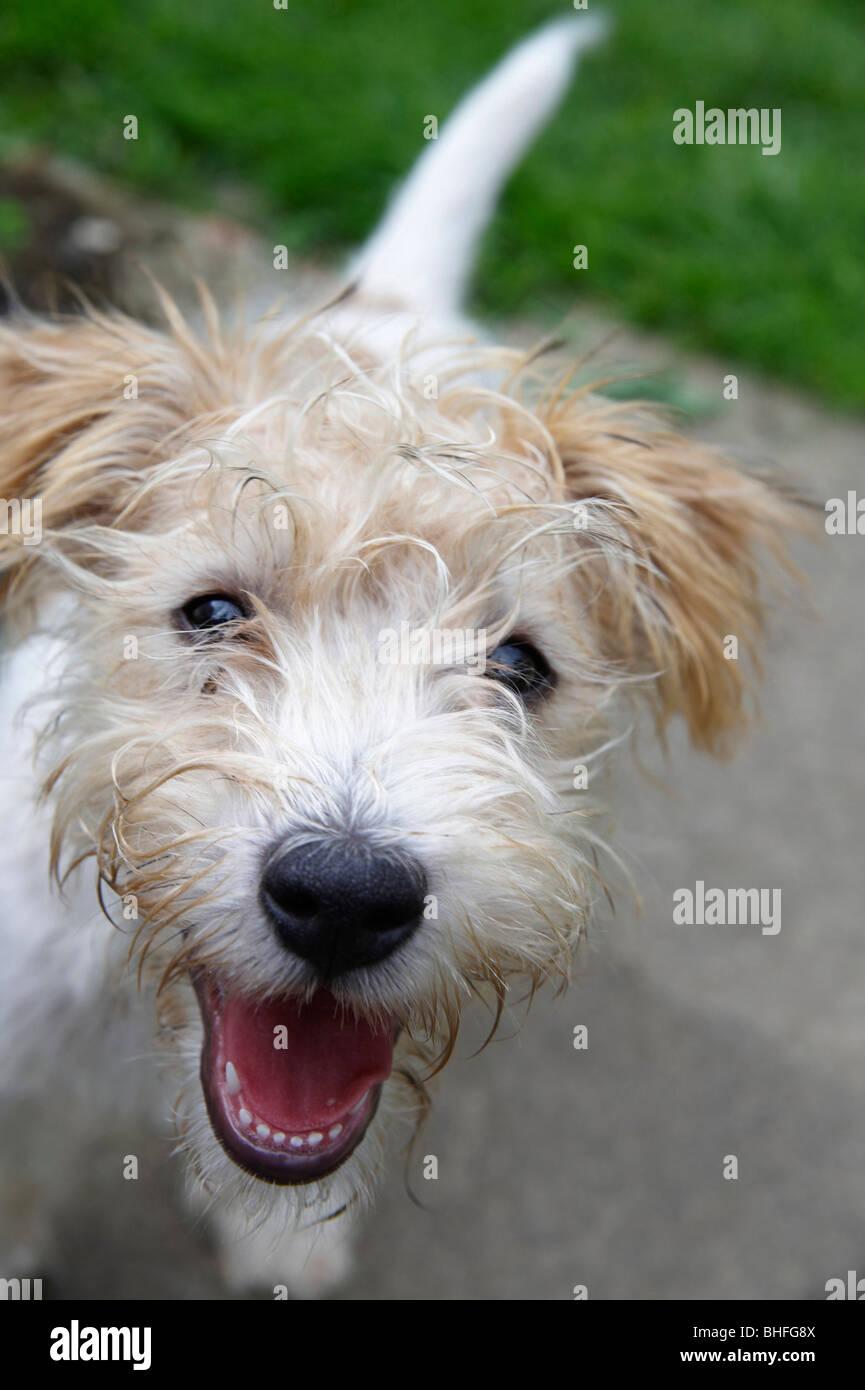 Wire Haired Terrier Stockfotos & Wire Haired Terrier Bilder - Alamy