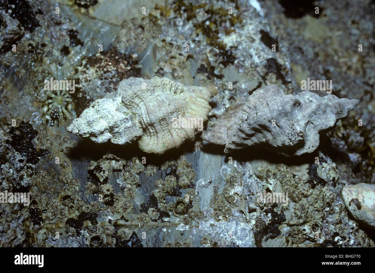 Europäische Sting Winkle (Ocenebra Erinacea: Muricidae) auf einem felsigen Ufer, UK Stockfoto