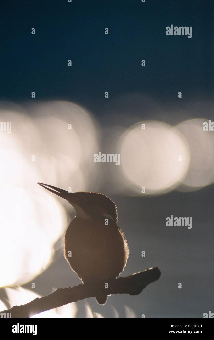 Die Silhouette des einen Eisvogel im Gegenlicht, Polen. Stockbild