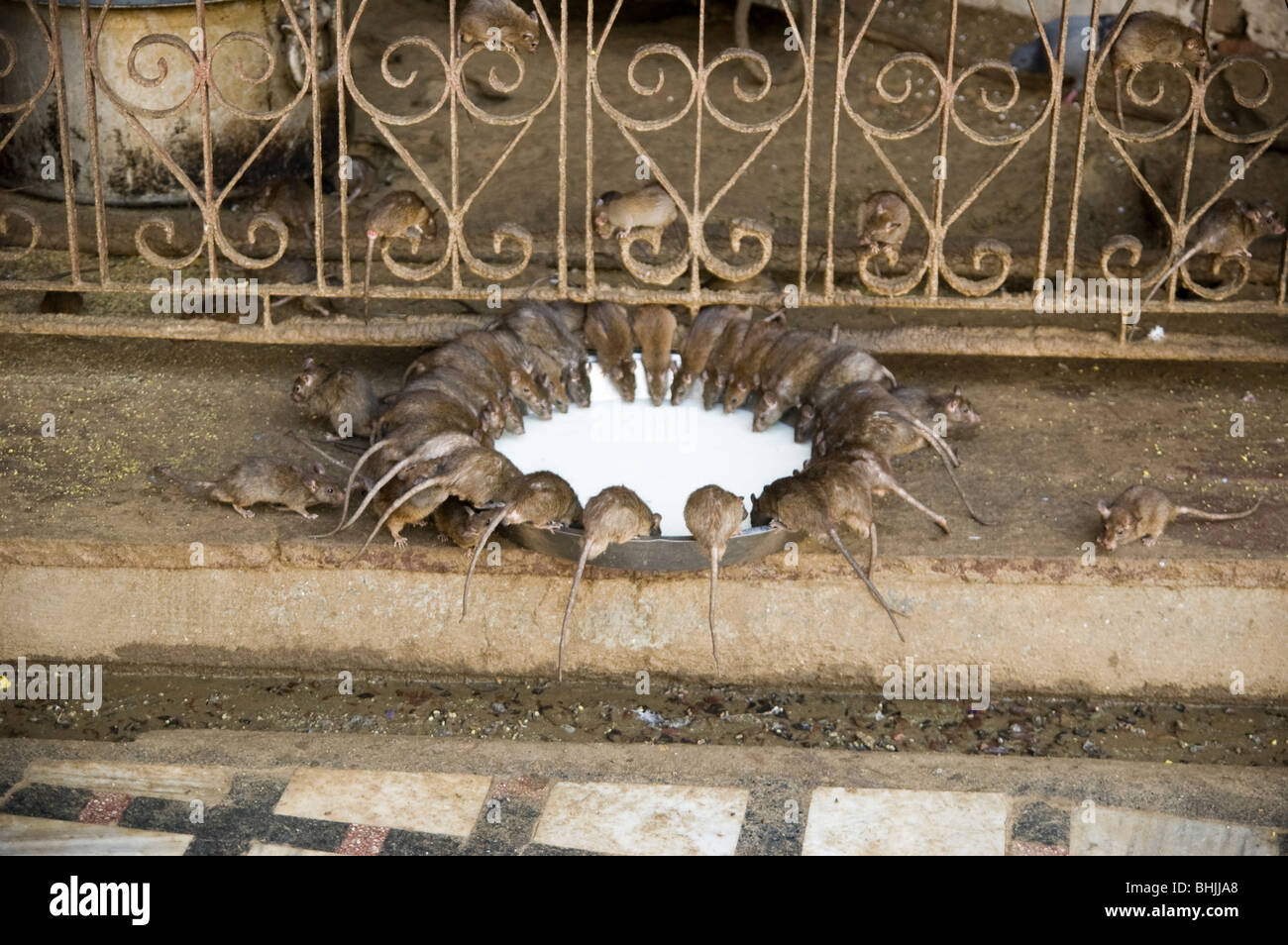 Ratten trinken Milch im Karni Mata Tempel in Deshnoke, Indien. Ratten sind hier geehrt. Stockbild