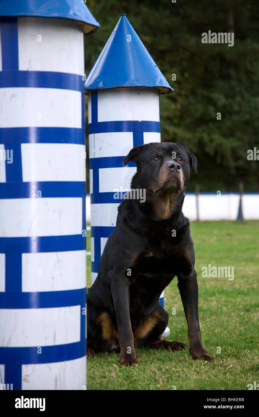 Rottweiler (Canis Lupus Familiaris) am Hindernis-Parcours Stockbild