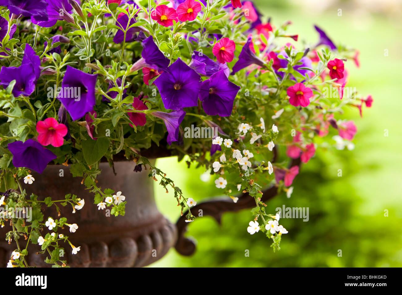 Petunien Blumen in einem Eisentopf Stockbild