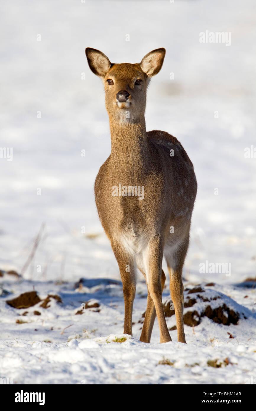 Sika Hirsche; Cervus Nippon; im Schnee Stockbild