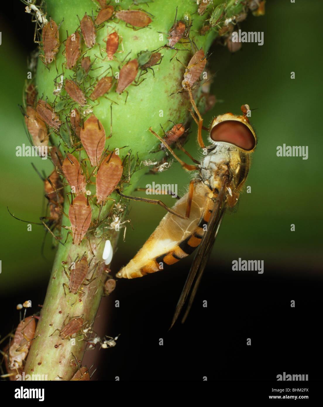 Schwebfliege (Episyrphus Balteatus) ihre Eier unter den Rosen Blattläuse Stockbild