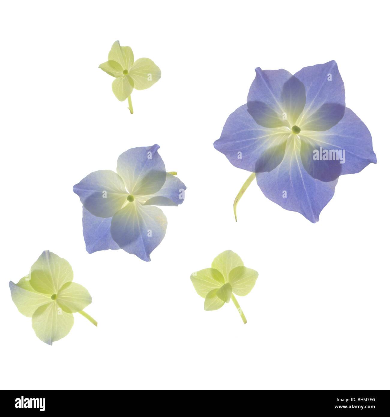 Scannen von grünen und blauen Hortensien Blütenblättern. Cut-Out isoliert auf weißem Hintergrund. Stockbild