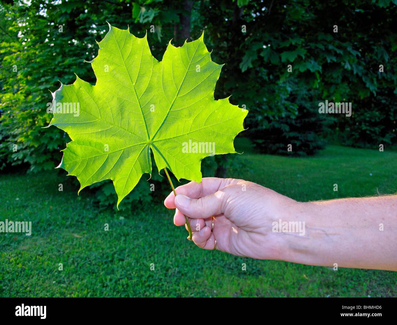 die Hand einer Frau mit einem großen grünen Zucker-Ahornblatt mit Bäumen im Hintergrund Stockbild
