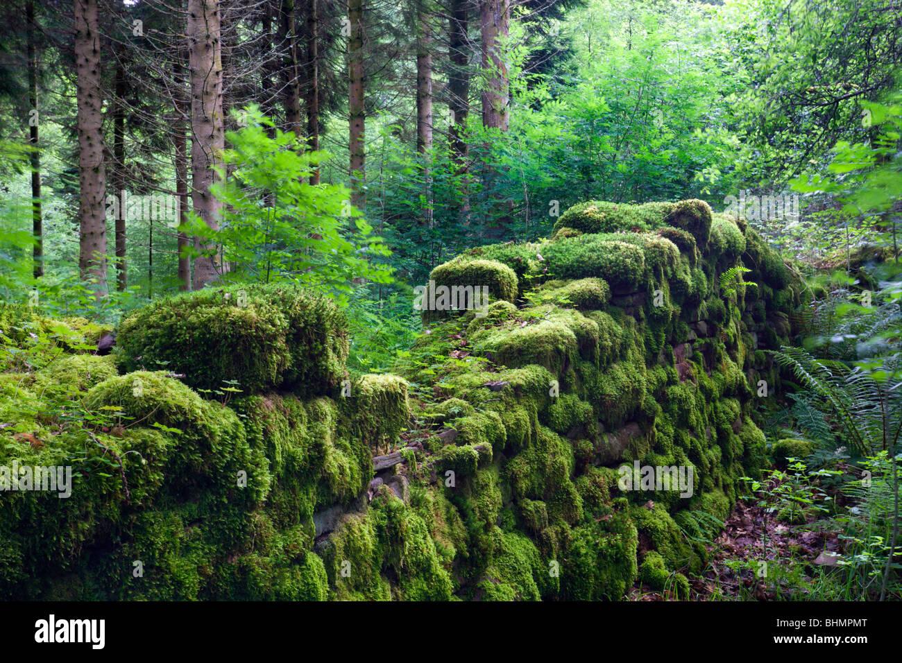 Moos bedeckt bleibt von einer Trockensteinmauer in einem Waldgebiet, Brecon-Beacons-Nationalpark, Powys, Wales, Stockbild