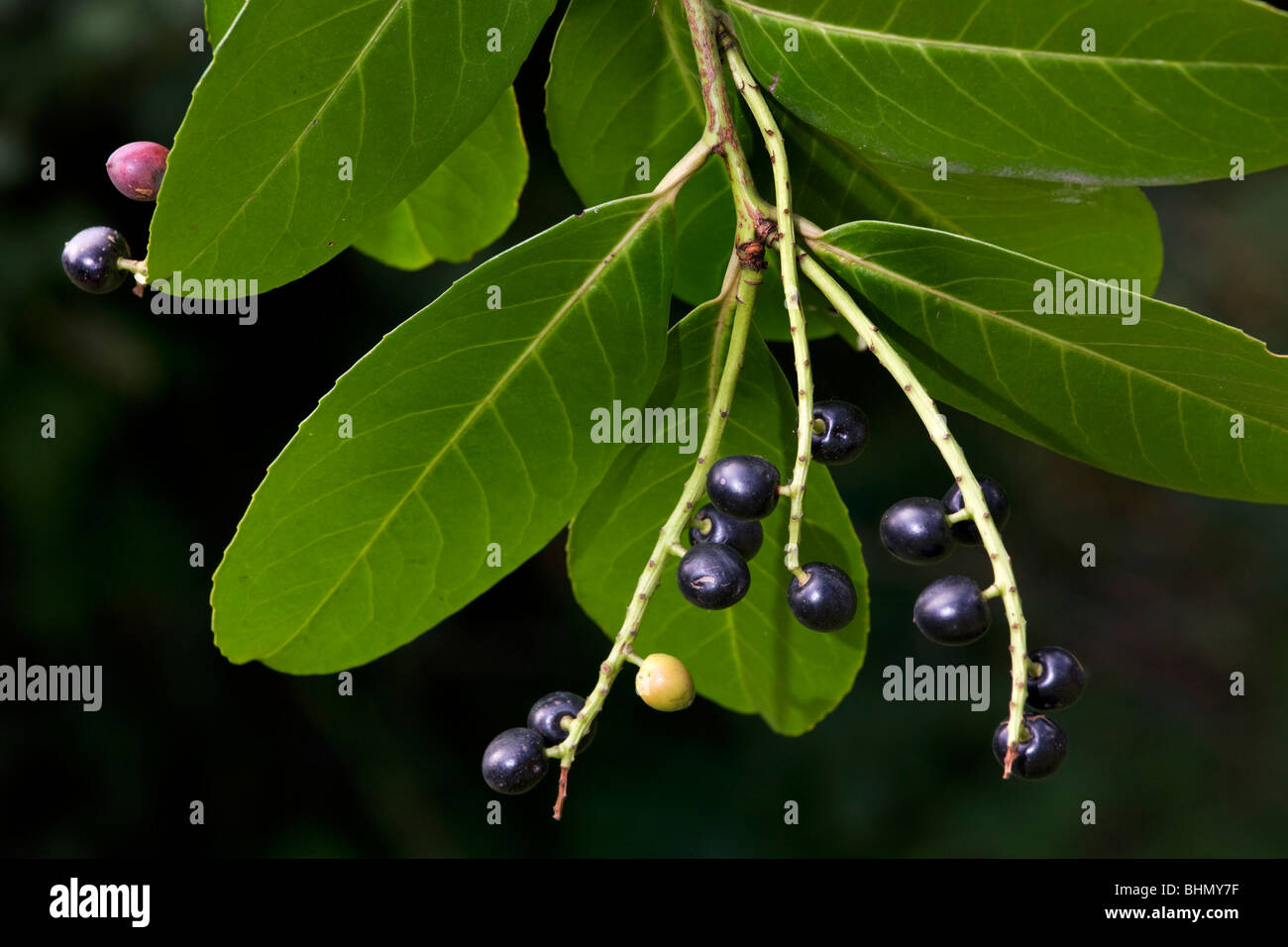 Kirschlorbeer / Englisch Lorbeer (Prunus Laurocerasus) mit Blättern und schwarzen Beeren, Belgien Stockbild