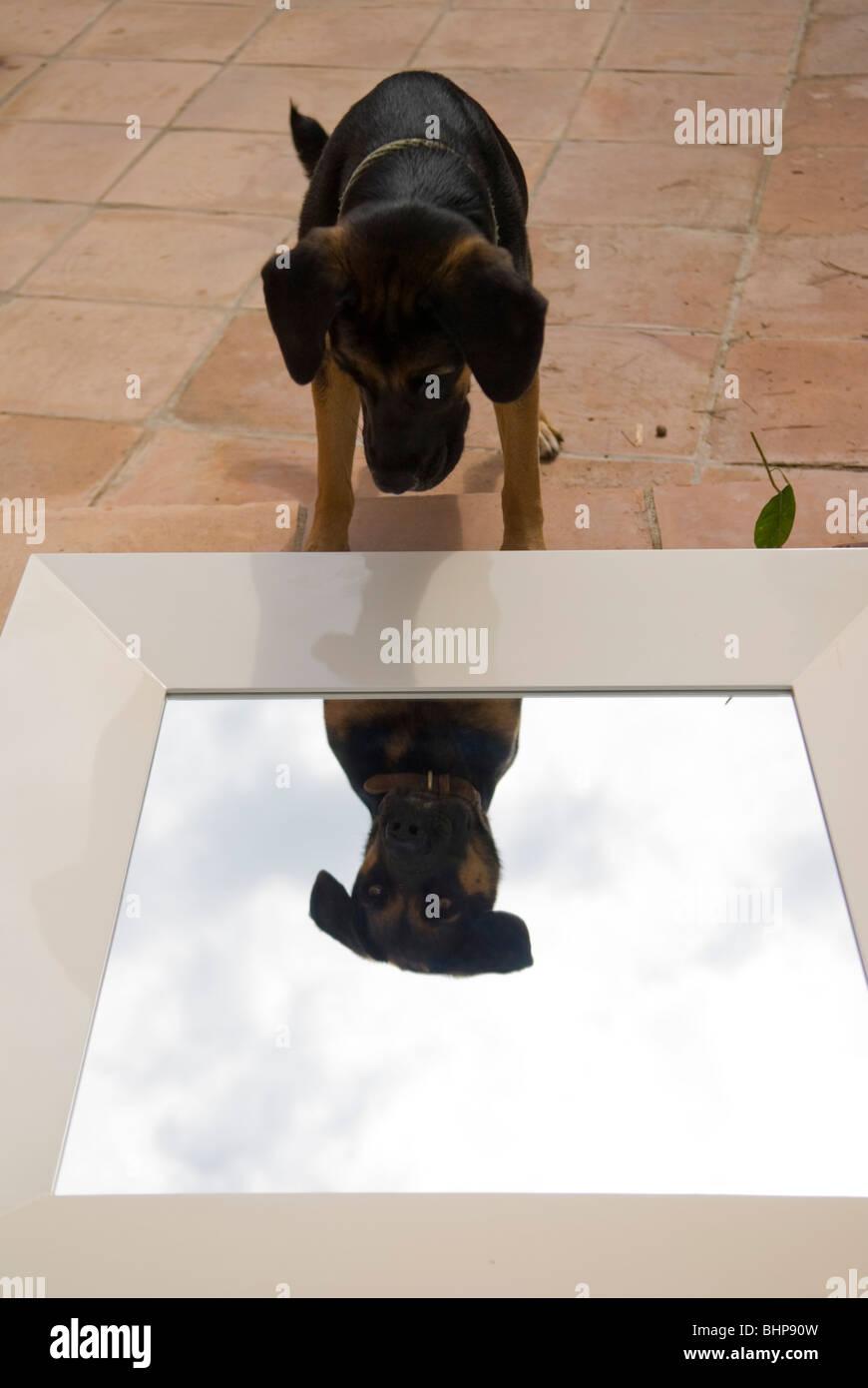 """ein großer Hund blickt auf seine Reflexion in einem Spiegel, die auf liegt seine """"wieder auf der Terrasse Stockbild"""