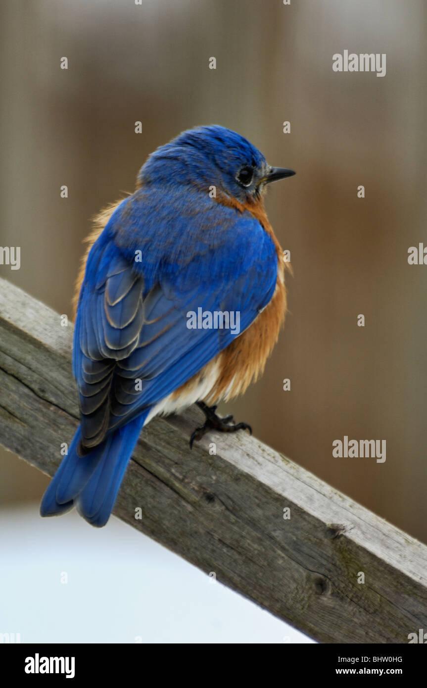 bluebird stockfotos bluebird bilder alamy. Black Bedroom Furniture Sets. Home Design Ideas