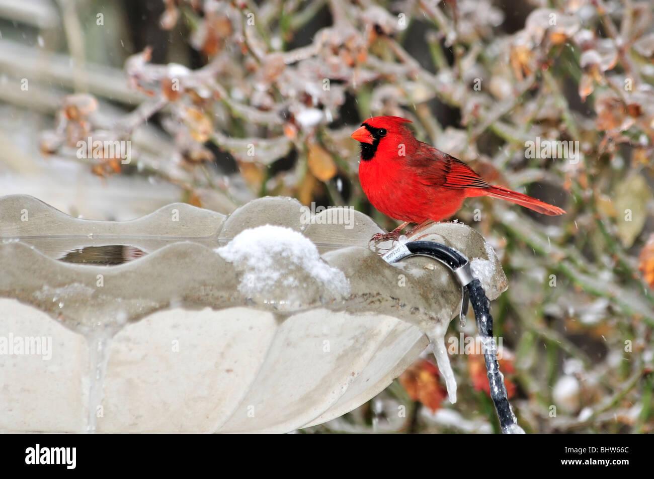 Nördlichen Kardinal männlich, Cardinalis Cardinalis, trinken aus ...
