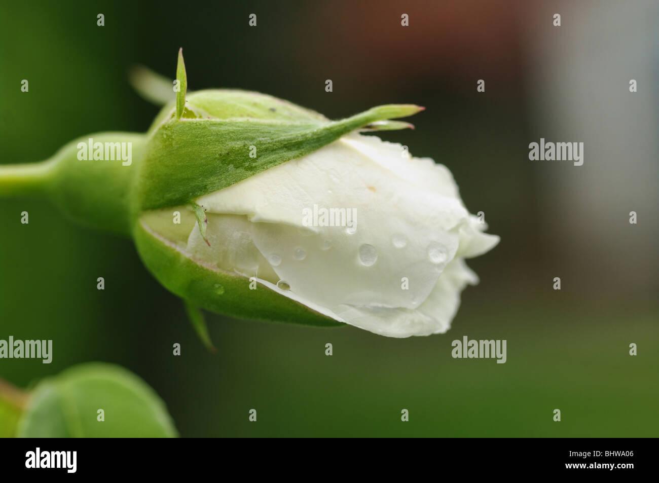 eine perfekte weiße Rosenknospe mit Tropfen Regen Stockbild