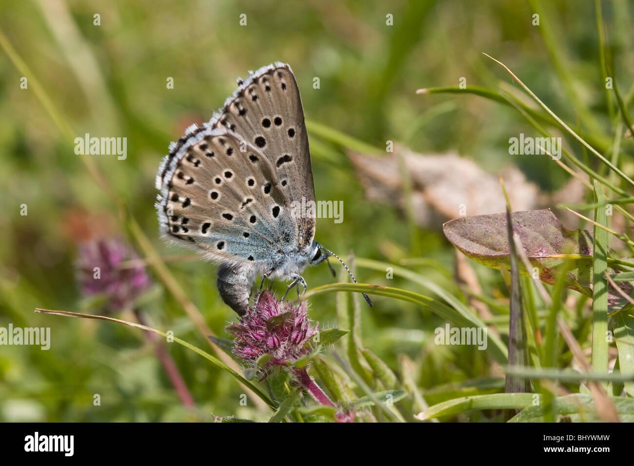 Große blau - Maculinea Arion. Weibliche Eiablage Stockbild